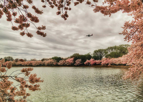 Wall Art - Photograph - Tidal Basin Blossoms by Kathi Isserman