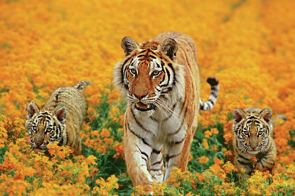 Side-by-side Photograph - Tiger & Kittens Walking Thru Orange by Gary Vestal