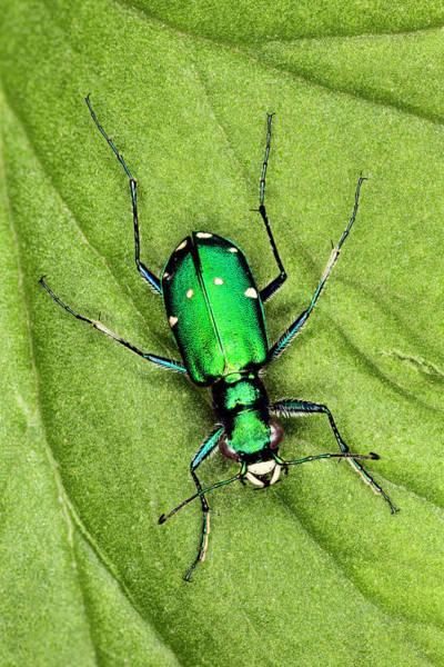 Wall Art - Photograph - Tiger Beetle, Cicindelinae, Kentucky by Adam Jones