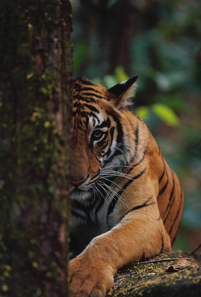 Wall Art - Photograph - Tiger Cub Hides Behind Tree by Theo Allofs