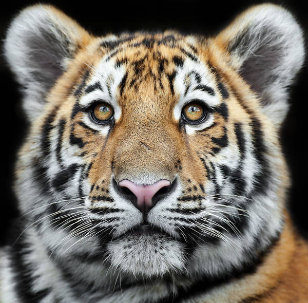 Staring Photograph - Tiger Cub Staring by Andyworks