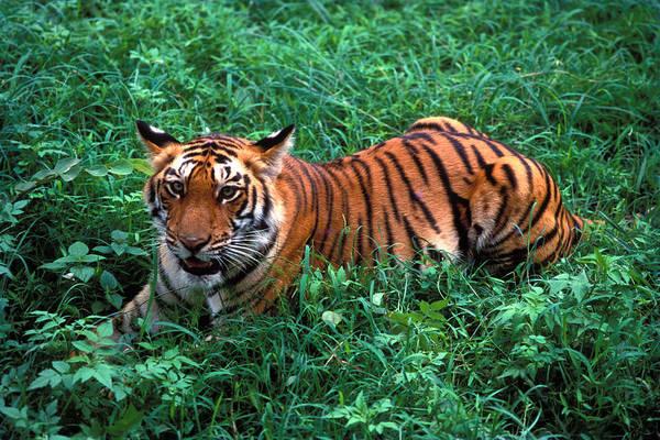 Bangalore Photograph - Tiger Cub by Vijayamurthy S