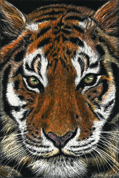 Drawing - Tiger Face by William Underwood