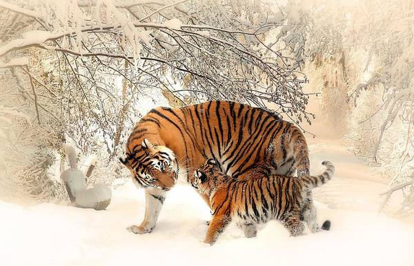 Tiger Family Art Print