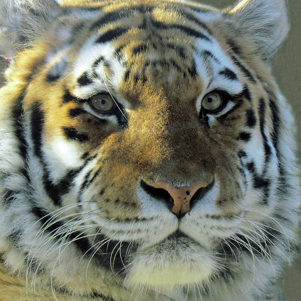 Photograph - Tiger by Images By Nancy Chow