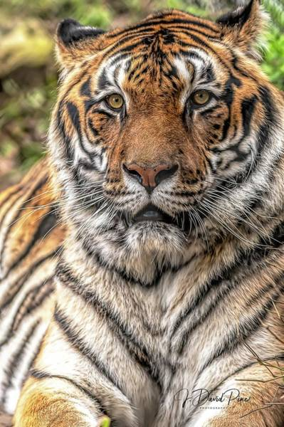 Photograph - Tiger In Repose by David Pine