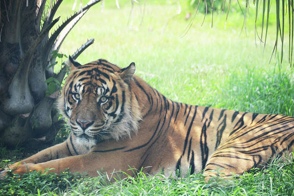 Photograph - Tiger In The Shade by Maggy Marsh