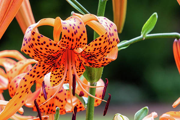 Photograph - Tiger Lily by Randy Bayne