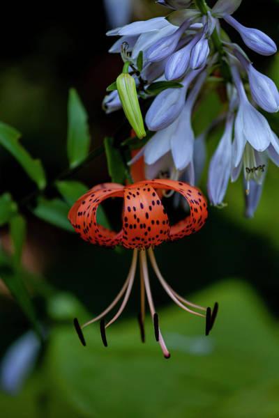 Photograph - Tiger Lily by Robert Ullmann