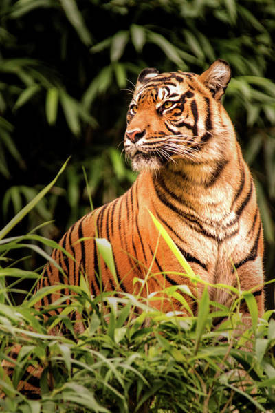 Photograph - Tiger Looking by Don Johnson