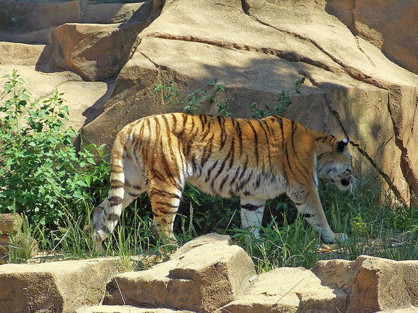 Photograph - Tiger Love by Matthew Seufer