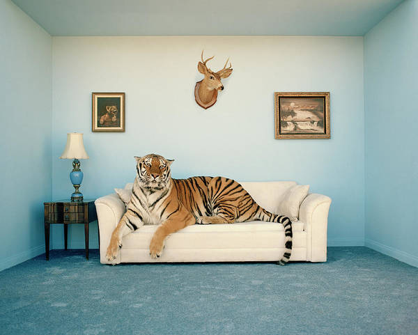 Animal Head Photograph - Tiger On Sofa Under Animal Trophy by Matthias Clamer
