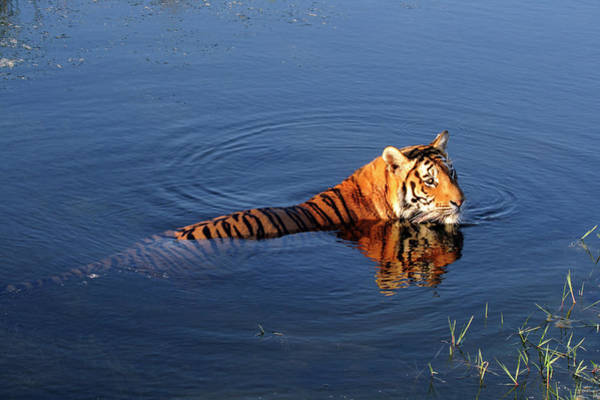 Horizontal Stripes Photograph - Tiger Panthera Tigris Swimming In A by Jv Images