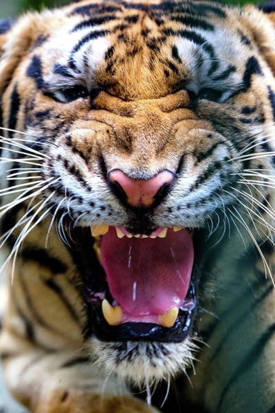 Safari Animal Photograph - Tiger Roar by Danny Reardon Of Jomoboy Photography