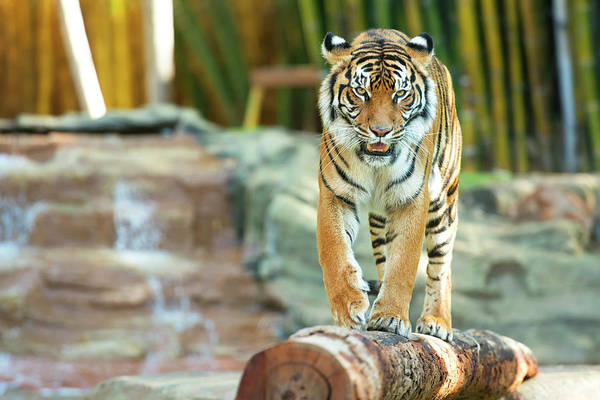 Photograph - Tiger by Rob D Imagery