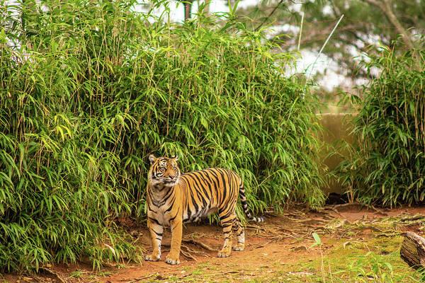 Wall Art - Photograph - Tiger by Schyler Sanks