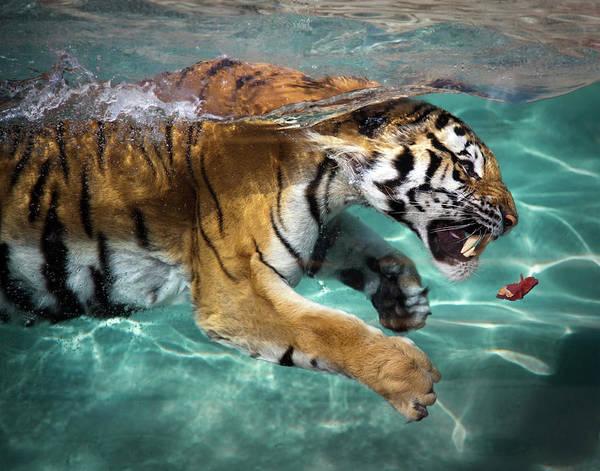 Wall Art - Photograph - Tiger by Sean Duan