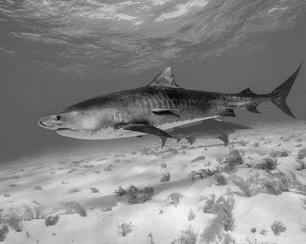 Wall Art - Photograph - Tiger Shark In Black And White, Tiger by Brent Barnes