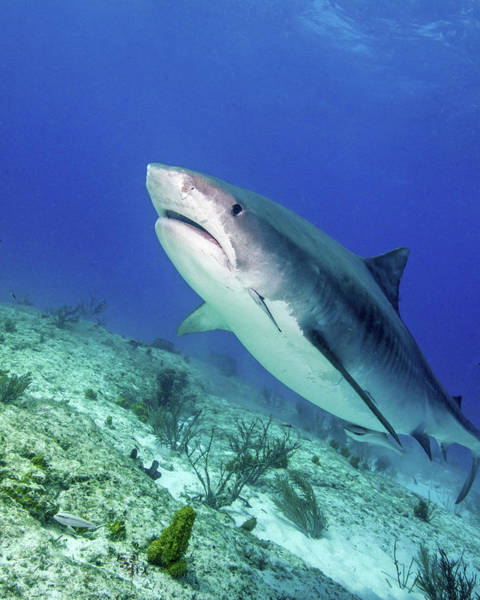 Photograph - Tiger Shark Swimming Over A Reef, Tiger by Brent Barnes