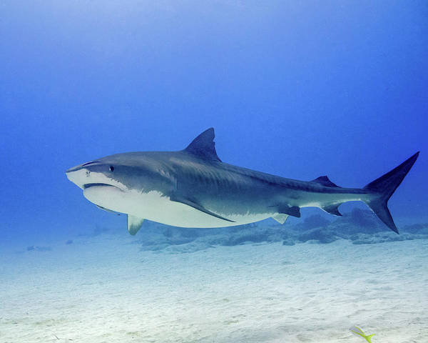 Photograph - Tiger Shark Swimming Over Sand, Tiger by Brent Barnes