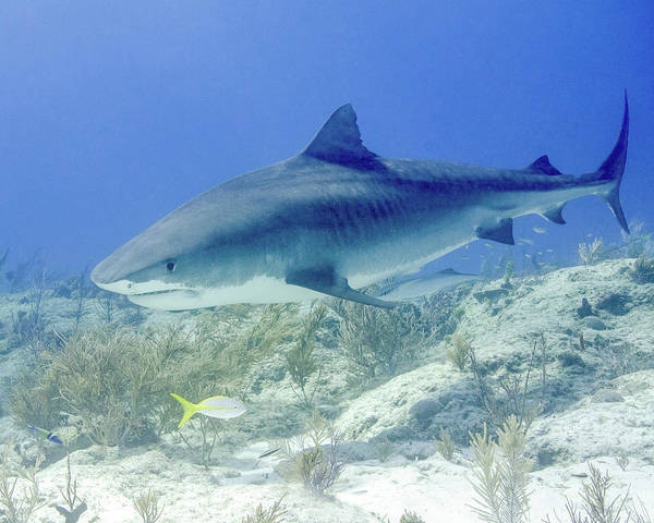 Photograph - Tiger Shark Swimming With A Yellowtail by Brent Barnes