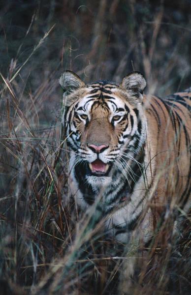 Wall Art - Photograph - Tiger Stalking Through Long Grass by Dennis Jones