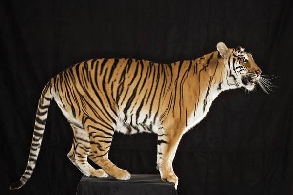 Carnivora Photograph - Tiger Standing On Platform by Darryl Estrine