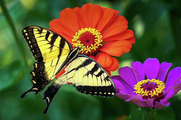 Photograph - Tiger Swallow Butterfly On Zinnias by Robert FERD Frank