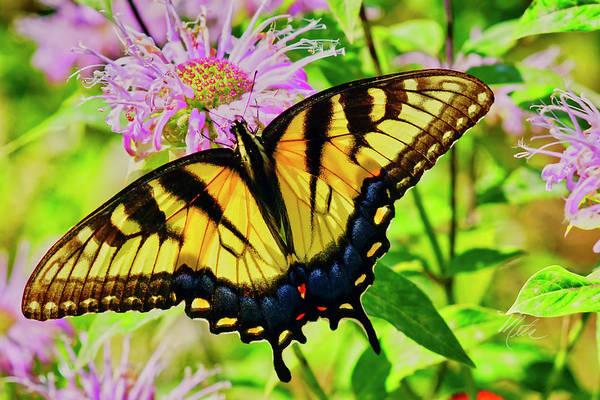 Photograph - Tiger Swallowtail Butterfly by Meta Gatschenberger