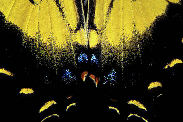 Photograph - Tiger Swallowtail  by Jeff Phillippi