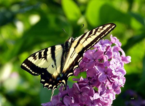Wall Art - Photograph - Tiger Swallowtail On A Lilac by Will Borden