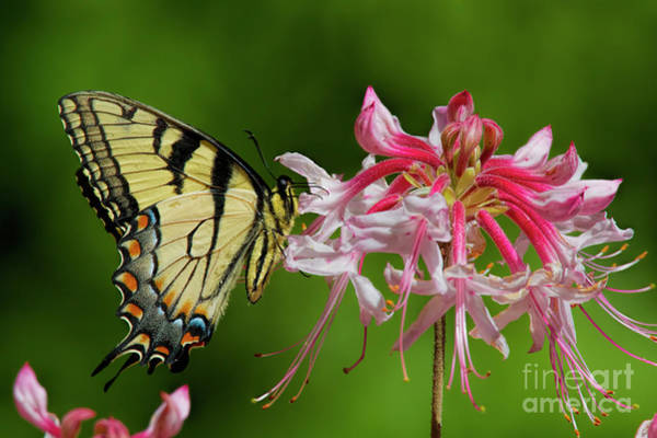 Photograph - Tiger Swallowtaill On Wild Azalea by Barbara Bowen