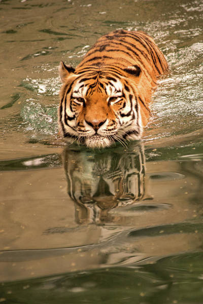 Photograph - Tiger Swimming by Don Johnson