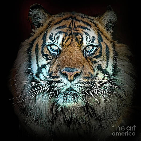 Photograph - Tiger, Tiger by Brian Tarr