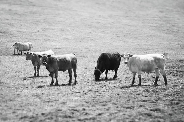 Cow And Calf Wall Art - Photograph - Tilt Shift Cattle In A Field by Toddarbini
