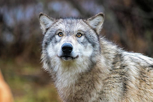 Photograph - Timber Wolf With Yellow Eyes by Dan Friend