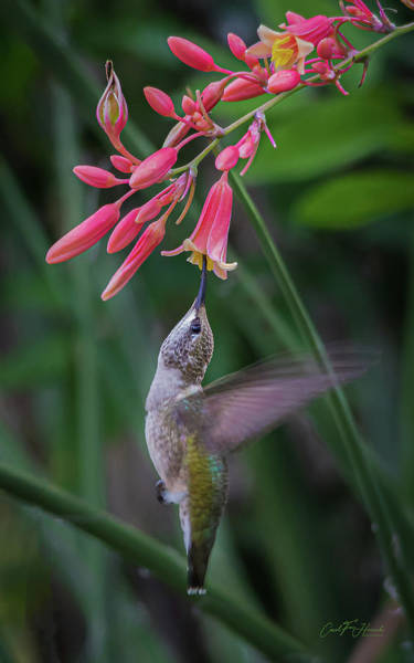 Photograph - Tiny Acrobat by Carol Fox Henrichs