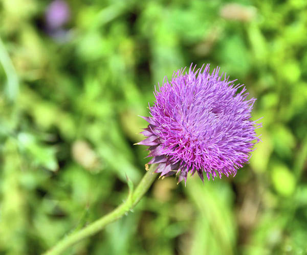 Photograph - Tiny Thistle by JAMART Photography