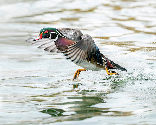 Photograph - Wood Duck Tip-toeing Over The Water by Judi Dressler