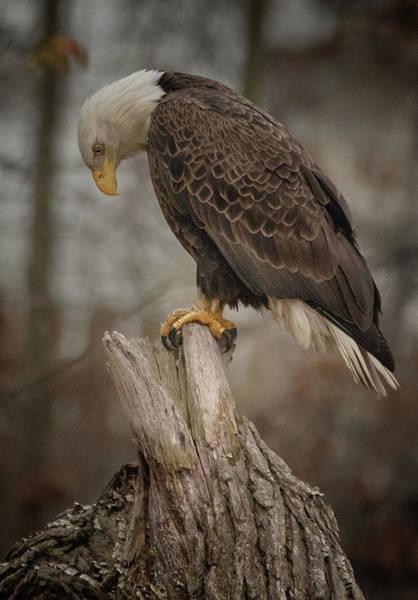 Wall Art - Photograph - Tired Eagle Dad  by Richard Kopchock