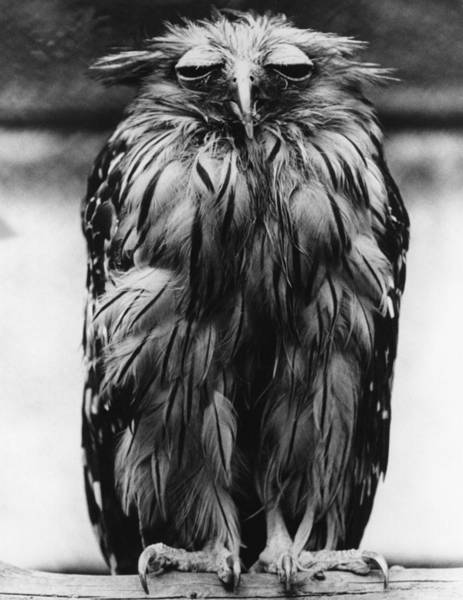 Ugliness Photograph - Tired Owl by Fox Photos