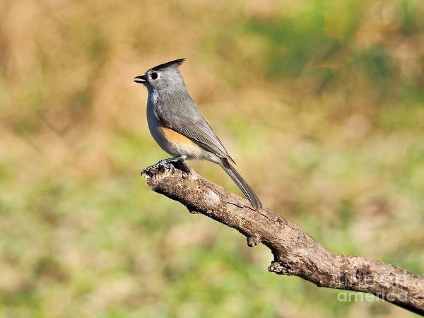 Wall Art - Photograph - Titmouse by Gary Richards