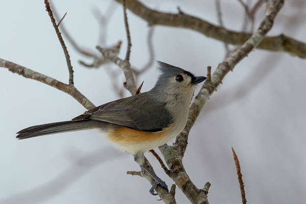 Wall Art - Photograph - Titmouse Winter Morning Cutie  by Betsy Knapp