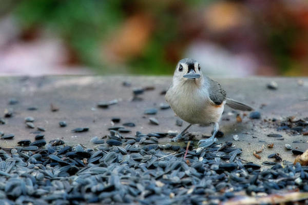 Photograph - Titmouse With Sunflower Seed by Dan Friend
