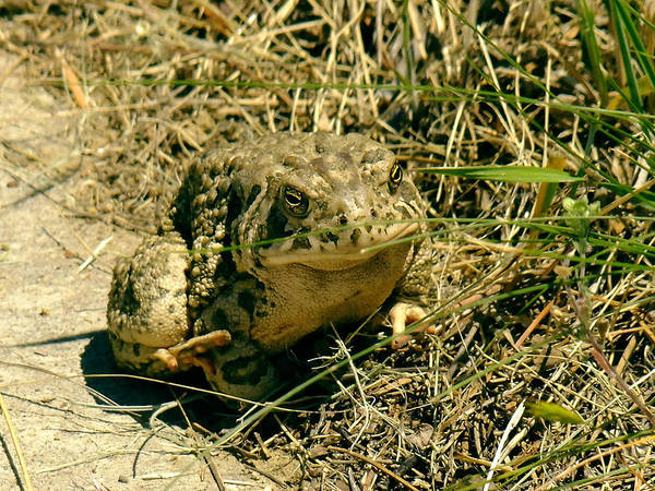 Photograph - Toad At The Park by Kae Cheatham