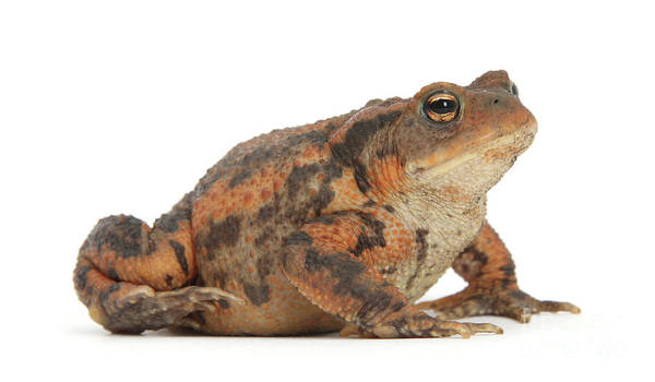 Photograph - Toad The Line by Warren Photographic