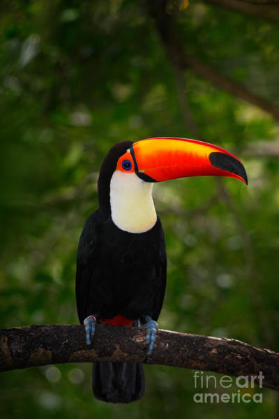 Wall Art - Photograph - Toco Toucan, Big Bird With Orange Bill by Ondrej Prosicky