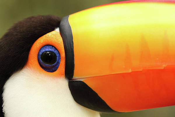 Toucan Photograph - Toco Toucan by Jumper