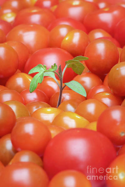 Photograph - Tomato Seedling  by Tim Gainey
