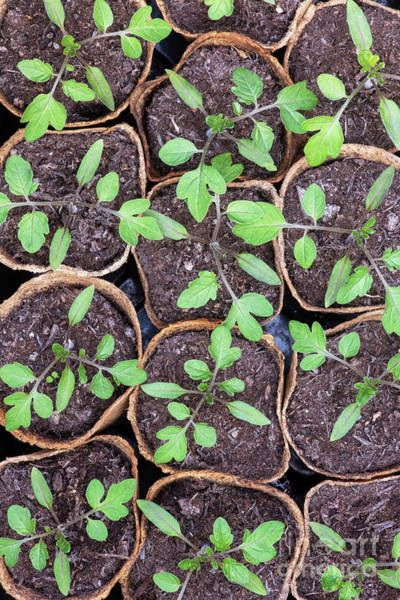 Wall Art - Photograph -  Tomato Seedlings  by Tim Gainey